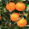 mandarin.jpg