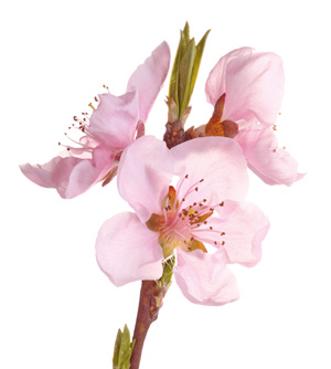 Persica flower